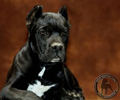 About Time's Domino. Cane Corso puppy from Rothorm JY Dream Quantum of Solace x Rothorm JY Dream Quimera.   Visit our website www.AboutTimeCaneCorso.com for more photos of our dogs, and please add our About Time Cane Corso G+ page to your circles (www.plus.google.com/107582707410022984353) and LIKE our facebook page at this link (www.facebook.com/AboutTimeCaneCorso) #CaneCorso #AboutTimeCaneCorso