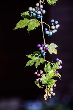 The multicolored turquoise and purple of Ampelopsis brevipedunculata, Porcelain berry.  www.alantowerphoto.com www.towerflower.com