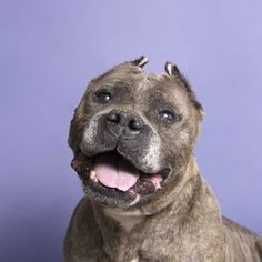 Rumple is an adoptable american staffordshire terrier searching for a forever family near New York, NY. Use Petfinder to find adoptable pets in your area.