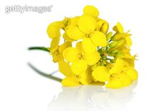 Canola Flower : images, photos et images vectorielles de stock Canola Flower, Flower Images, Royalty Free Stock Photos, Photoshop, Rose, Illustration, Flowers, Plants, Pictures