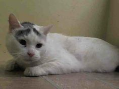 SAFE! TO BE DESTROYED 4/3/14- Manhattan Center  My name is CHUBBS. My Animal ID # is A0995158. I am a neutered male white and gray tabby dom sh mix. The shelter thinks I am about 6.  I came in as a STRAY  from NY 10458, https://www.facebook.com/nycurgentcats/photos/a.767227869961869.1073742259.220724831278845/767228046628518/?type=3&src=https%3A%2F%2Ffbcdn-sphotos-g-a.akamaihd.net%2Fhphotos-ak-frc3%2Ft1.0-9%2F10168106_767228046628518_437866436_n.jpg&size=640%2C480&fbid=767228046628518