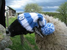 Curly the real SHIVERING SHEEP model! Wearing a sky blue and white stripe beanie..