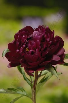 """Peter Brand"" Peony would make an ideal practice run on a smaller canvas (or rather board, I like using board) Amazing Flowers, Beautiful Flowers, Red Peonies, Peonies Garden, Peony Flower, Dream Garden, Garden Inspiration, Beautiful Gardens, Shrubs"