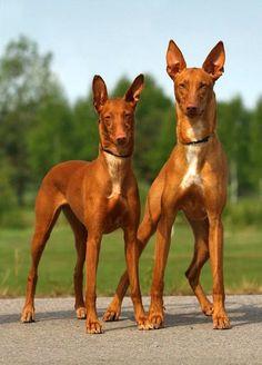 Фараонова собака: энергичный пес для охоты и преданный домашний любимец  Смотри больше http://kot-pes.com/faraonova-sobaka-energichnyj-pes-dlya-oxoty-i-predannyj-domashnij-lyubimec/
