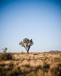 Joshua Tree, #California is a beautiful and must-see location when exploring the west coast!