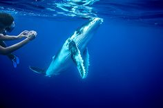 Swimming with whales in Tonga. Doin' it August 2015!!!