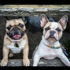Happy Faces! French Bulldogs.
