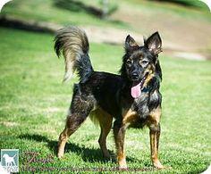 Torrance, CA - Sheltie, Shetland Sheepdog Mix. Meet Tivoli a Dog for Adoption.