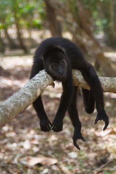 Baboon in Belize