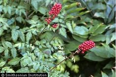 Achaea  rubra, Red Baneberry