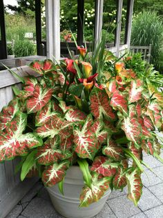 Rare Colorful Caladium bonsai plant Burnt Rose(jio ying)Elephant Ear Beautiful Bonsai Flower Potted Plants For Home Garde Patio Plants, Bonsai Plants, Outdoor Plants, Potted Plants, House Plants, Ornamental Plants, Foliage Plants, Container Plants, Container Gardening