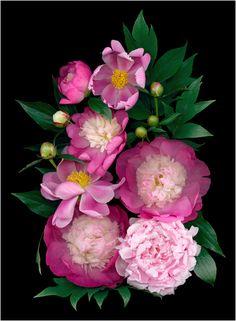 La Vie En Rose (Pinks) 2 - Scanner Photography By Ellen Hoverkamp
