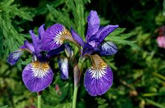 Iris sibirica - a rhizomatous herbaceous perennial up to 1.2m tall, with narrow grassy foliage and branched stems bearing up to 5 violet-blue flowers 6-7cm wide in early summer, the falls veined purple on white at the base