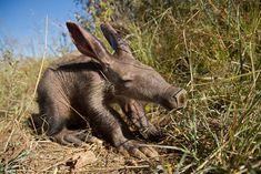 baby-aardvark