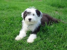 Old English Sheepdog pictures, information, training, grooming and ...
