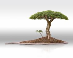 Excellent Brazilian Raintree I've seen in person at Wigert's Bonsai