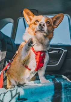 Dog Travel, Dog Harness, Amazing Destinations, Your Dog, Corgi, Dog Car, Steel, Fun, Safety