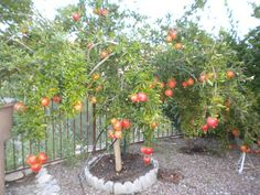 Pima County Cooperative Extension Demonstration Gardens Sells 3 Varieties  Of Pomegranate Trees $8 $12 Patio