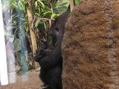 Gorilas Zoo