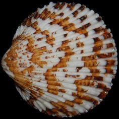 Glycymeris multicostata