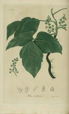 Poison Ivy  #diarioconceptivo #dailyconceptive