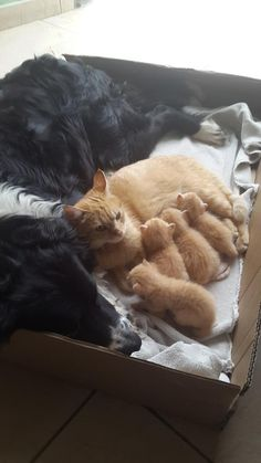 "awwww-cute: ""Diego (dog), Nala (kitty) and her babies (Source: http://ift.tt/1EZL24h) """