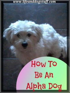 New blog post How To Be An Alpha Dog! Buffy gives other dogs some useful tips on how to be an alpha. #dogs