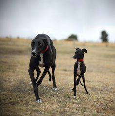 Linda Meerman's photo of her Italian Greyhound Neko with Greyhound Zali , Line dancing in Melbourne 2 stunning dogs