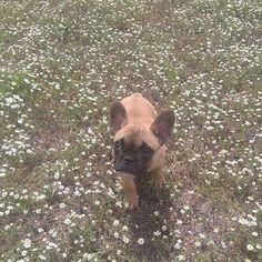 Have a great weekend.  #Daizeemae  #showpetslove #photooftheday #frenchieoftheday #texasfrenchies #frenchiesofinstagram #frenchbulldogsofinstagram #frenchbulldog #frenchies #frenchpuppy #puppy #cutepuppy #frenchiegram
