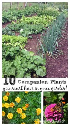 Companion plants support growth, attract beneficial insects, & deter pests. Do you know which companion plants you must have in your vegetable garden!?