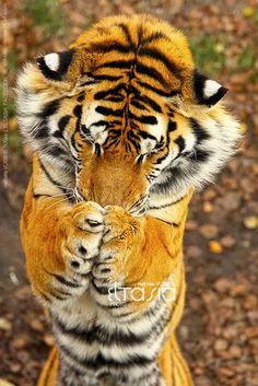"""Foto: #Sabado_de_chistes Van unos misioneros al áfrica y se encuentran con un enorme tigre, asustados y en plena angustia los misioneros se ponen a orar pidiendo que el animal se vuelva vegetariano. Abren los ojos y ven asombrados al tigre orando también. Dicen los misioneros ¡Aleluya!! se hiso cristiano el tigre. En eso escuchan al tigre rezar """" Señor, bendice los alimentos que me voy a servir"""" jejeejejjeje"""