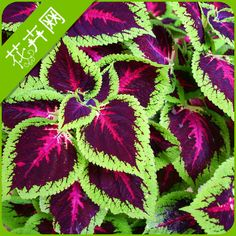 Online Get Cheap Coleus Seed -Aliexpress.com | Alibaba Group