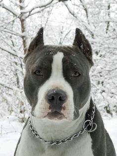 beautiful Pit bull