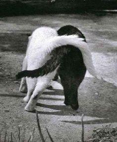 Perché i gatti intrecciano la coda?