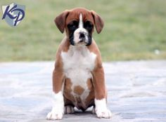 Keystone Puppies has a puppy finder feature setting you up to find and buy a dog perfect for your home. Baby Boxer Puppies, Boxer Puppies For Sale, Boxer And Baby, Boxer Love, Dogs And Puppies, Puppy Finder, Puppy Treats, Buy A Dog, Cute Faces