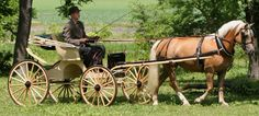 Antique buggies and haflingers