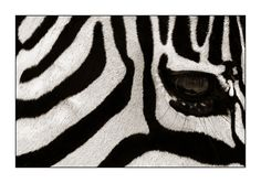 Robby Bolleyn - Zebras - abstract 3