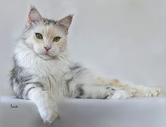 silver classic torbie white   Maine Coon Cat  SPARROW S NIGHTMARE