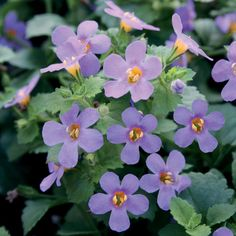 Proven Winners | Snowstorm® Blue - Bacopa - Sutera cordata. A genus that Proven Winners is accredited to bringing to the U.S. market. Wonderful as the thriller in baskets, containers or windowboxes.
