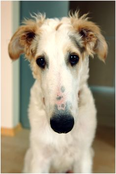 hortaya borzaya hound photo | Photograph Little Borzoi - Reinas by Aurimas Šatas on 500px
