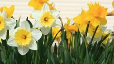 Narcissus Feng Shui Plants