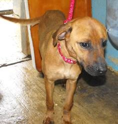 TANGO is an adoptable Hound Dog in Prestonsburg, KY.  TANGO is a 2 yr old female hound mix who came in with Tyson and his littermates.? She is not their mom but she has taken over the job.? She has th...