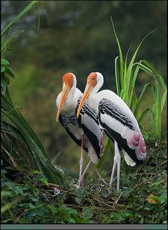 The Painted Stork, Mycteria leucocephala, is a large wading bird in the stork family Ciconiidae.It is a tropical species which breeds in Asia from India and Sri Lanka to southeast Asia. It is a resident breeder in lowland wetlands with trees. The large stick nest is built in a forest tree, and 2-5 eggs is a typical clutch.  Copyright: Satish Hanumantha Rao (satish_h)