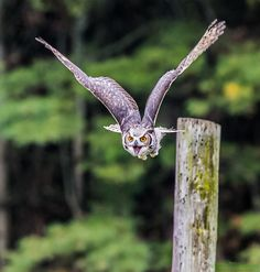"""""""Great Horned Owl Screaming"""" by Vince Maidens."""