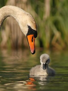 Première leçon pour ce bébé cygne / first lessons for this swan baby Beautiful Swan, Beautiful Birds, Animals Beautiful, Swans, Cute Baby Animals, Animals And Pets, Tier Fotos, Mundo Animal, All Gods Creatures