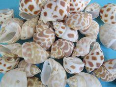 "Arts Crafts Hobby Beach Deco. 200 Ringtop Cowrie Shells Seashell .5-1/""//12-25mm"