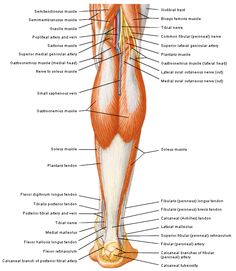 Mendmeshop knee anatomy there are 4 ligaments of the knee pcl lcl achillespees in relatie tot musculatuur onderbeen 1 door fh netter ccuart Image collections