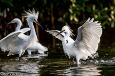 ☼ Sanibel Island, Florida ☼ — Two snowy egrets challenge each other at The Ding Darling Wildlife Refuge.