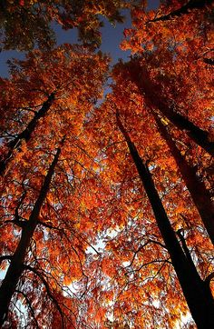 "Cincinnati - Spring Grove Cemetery & Arboretum ""Cypress Trees In Autumn - Straight Up Please"" 