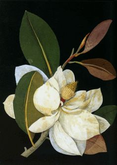 Recto Magnolia Grandiflora (Polyandria Polygynia), formerly in an album (Vol.VI, the grand Magnolia. 1776 Collage of coloured papers, with bodycolour and watercolour, on black ink background © The Trustees of the British Museum Flor Magnolia, Magnolia Flower, Botanical Drawings, Botanical Prints, Sibylla Merian, Illustrations, Illustration Art, Illustration Botanique, Collage Artists